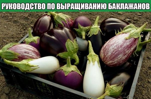 Руководство по выращиванию баклажанов