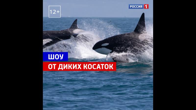 Косатки подплыли к берегу Россия 1