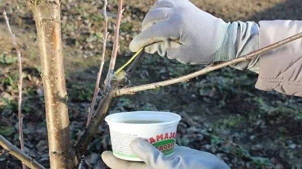 ЧЕМ ЛЕЧИТЬ ДЕРЕВЬЯ: РЕЦЕПТ САДОВОГО ВАРА И ЗАМАЗКИ Сохраните, чтобы не потерять! По осени садовый вар является незаменим помощником любого садовода. Он необходим для обработки любых ран на