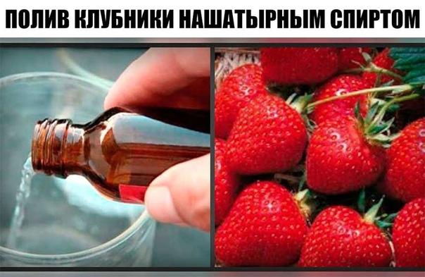 Полив клубники нашатырным спиртом от вредителей и болезней