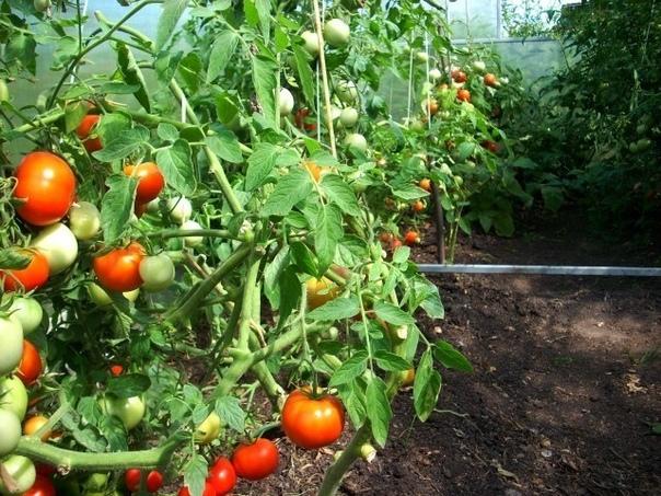Как ускорить созревание перца, баклажанов, томатов и других овощей В климате средней полосы лето короткое и прохладное, поэтому некоторые овощи не успевают созреть к концу сезона. Чтобы не