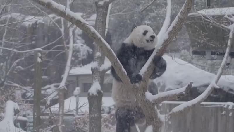 Панды радуются снегу Animal Planet
