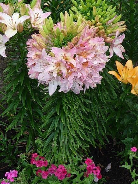 Та самая лилия, которая на одном стебле имеет 100 цветков! (источник: gofazenda)
