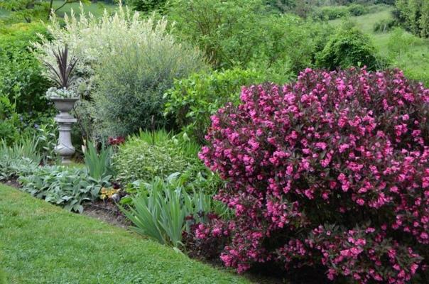 Декоративный куст с очным обильным цветением! Красавица вейгела!