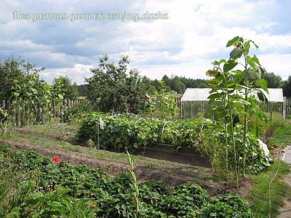 Огурец требователен к качеству почвы, светолюбив, теплолюбив