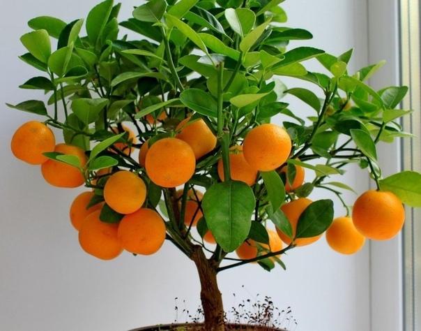 Как вырастить МАНДАРИН из косточки в домашних Для посадки мандарина вам будут необходимы семена, а точнее косточки, которые можно «добыть», приобретя в магазине несколько спелых мандаринов. Для