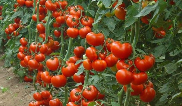 Постучите по томатам. Секретный метод!