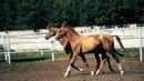 Хагар Продажа ахалтекинских лошадей.Sales of Akhal-Teke horses akhaltekellc