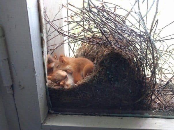 В Доме творчества Омска в окнах поселилась белочка и свила гнездышко для своих малышей