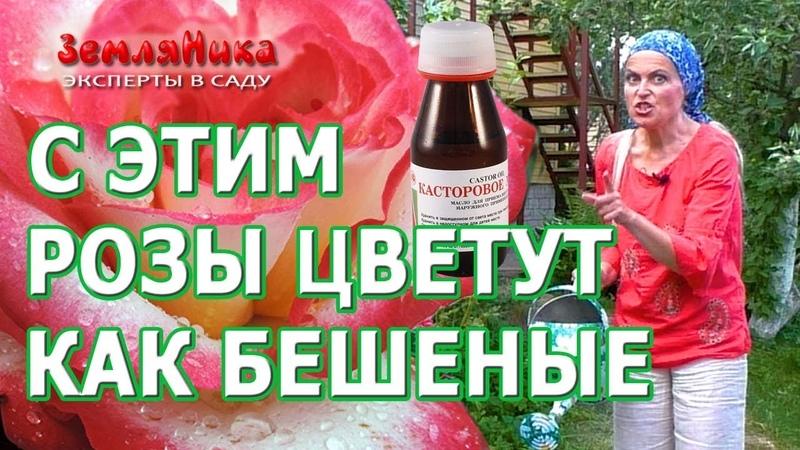 Розы будут цвести всё лето если подкормить их супер средством Касторовое масло для роз