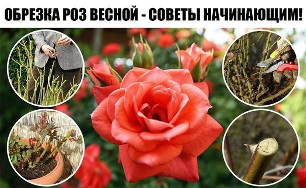 Обрезка роз весной — советы начинающим!