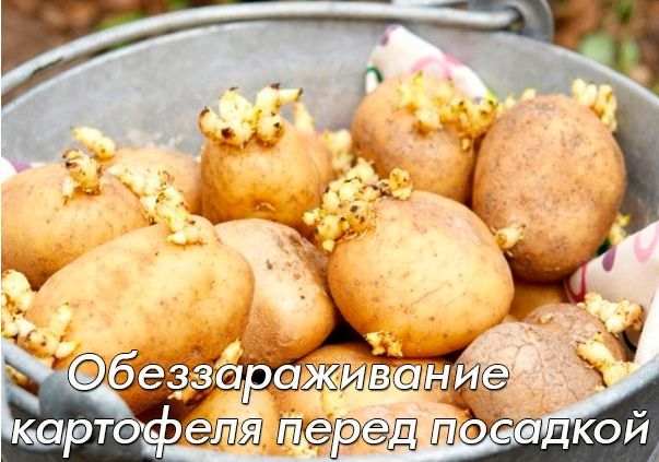 Как обеззараживать картофель перед посадкой