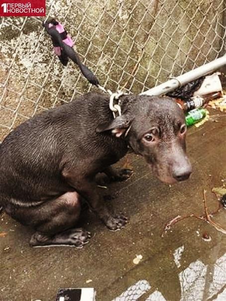 Пса привязали на даче и не кормили несколько дней... Кто за то, чтобы наказывать таких хозяев по закону