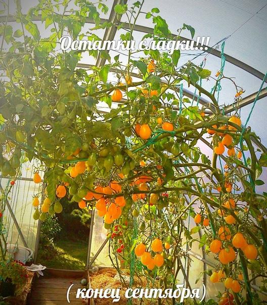 Сажайте желтые томаты...)