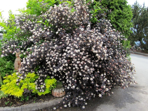 Пузыреплодник калинолистный яркий и быстрорастущий Люблю декоративные кустарники, особенно неприхотливые и с интересной, нетривиальной окраской листвы. Есть у меня разные спиреи японские,