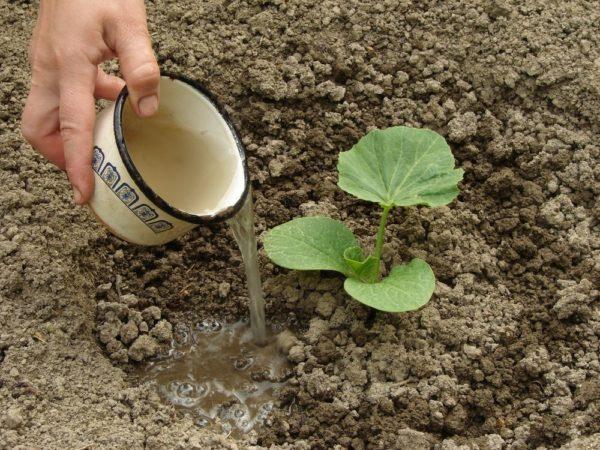 Выращивание кабачков на огороде: сажаем без хлопот.