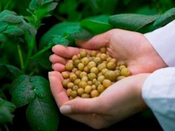 Эффективный способ посадки картофеля семенами