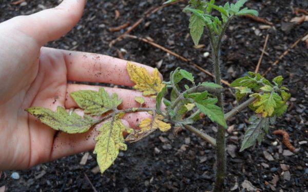Появляются желтые пятна на листьях рассады томатов. Почему Что делать