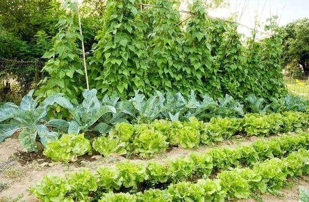 Кто с кем дружит Совместимость огородных растений