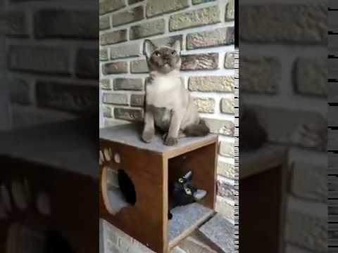 ДАШКАМИЛАШКА Даша Бурманский котенок Окрас шампаньПрекрасная девочка окраса шампань ждёт хозяина
