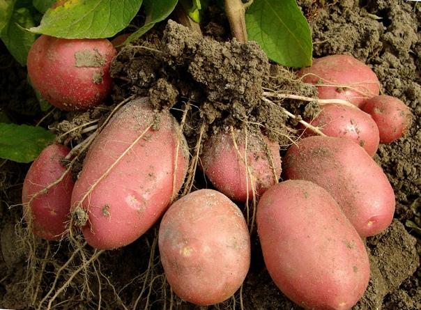 Советы для отличного урожая картофеля