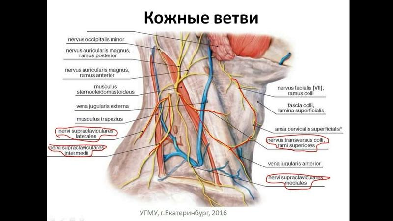 Шейное сплетение формирование, ветви, области иннервации