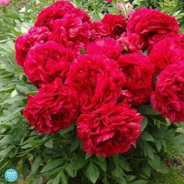 Пионы - календарь ухода В России пионы одни из самых любимых цветов. Однажды посаженный куст будет радовать великолепным цветением долгие-долгие годы. Начинающих любителей этой культуры да и