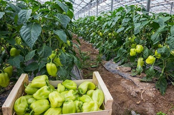 Рецепты биококтейлей для сада и огорода Биококтейли содержат вещества, повышающие иммунитет растений и ускоряющие их развитие. Если хочется хилую рассаду превратить в атлетов, то надо прибегнуть