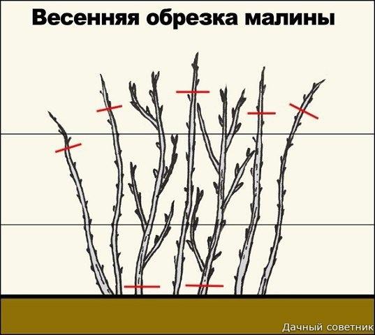 Посадка малины весной Весенняя посадка малины так же эффективна, как и осенняя, условие здесь одно - старайтесь соблюдать правила агротехники. В первую очередь надо подготовить почву. Существует