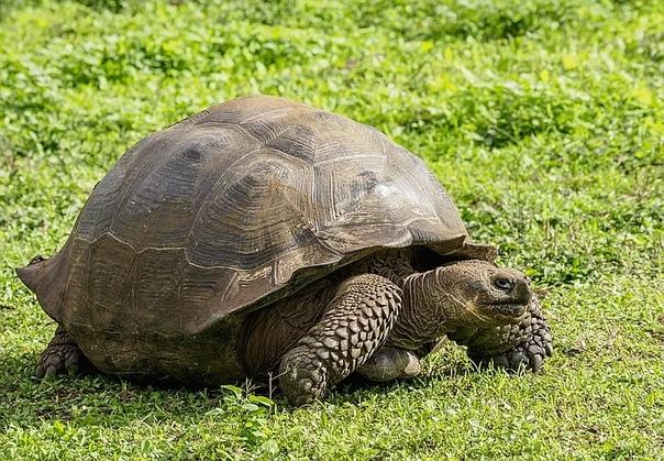Галапагосскую черепаху, ставшую отцом 800 детёнышей, выпустили на волю. 100-летний Диего спас свой вид от вымирания.Столетняя галапагосская черепаха Диего жил в неволе несколько десятилетий. За