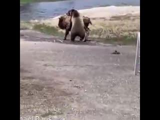 Бизон пытается спастись от гризли в парке Йеллоустон