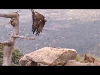 Орел на охоте..