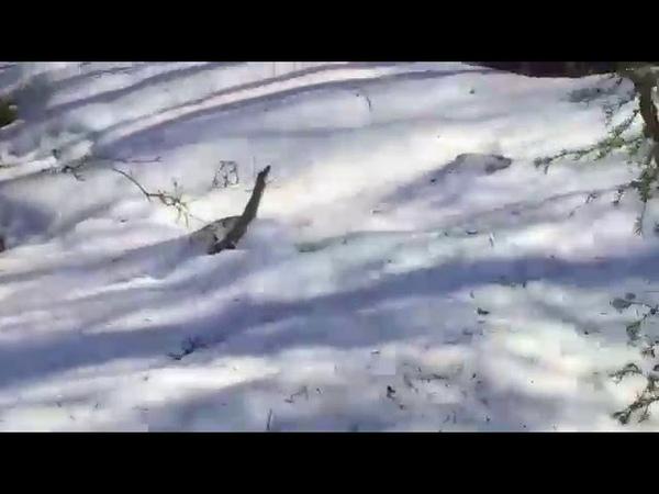 Nord-News В питомник ездовых собак под Мурманском забрел медведь
