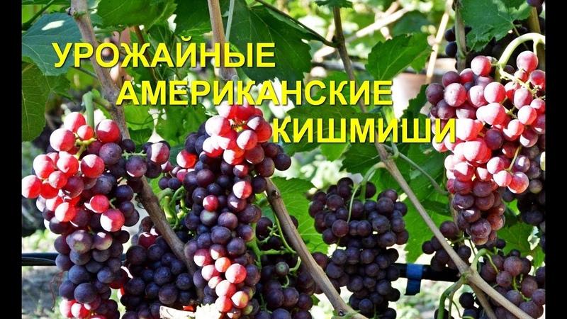 Кишмишные сорта винограда Столетие и Красное пламя