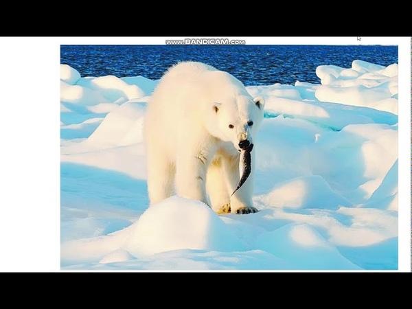 Окружающий мир 1 класс Тема урока Где живут белые медведи