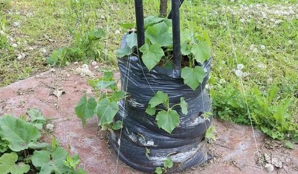 Способ выращивания огурцов в мешках Хочу поделится своим опытом выращивания огурцов. Я еще давно вычитала про этот способ в какой-то книжке и вот в прошлом году попробовала. Суть метода в том,