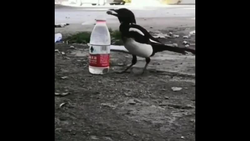 До чего же умная птица Бросает камни в бутылку чтобы поднять общий уровень воды