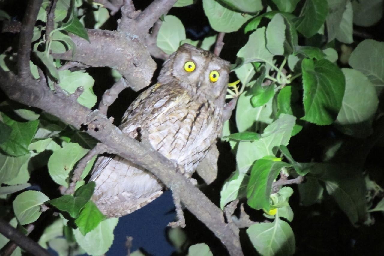 Ночной гость на яблоне около дома в