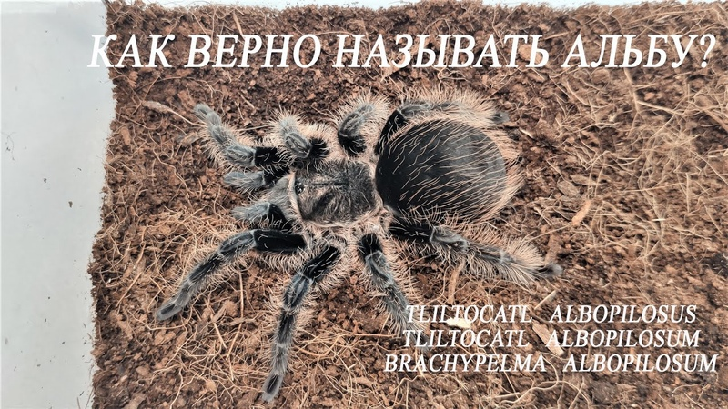 Как правильно называть альбу Brachypelma albopilosum Tliltocatl albopilosum Tliltocatl albopilosus