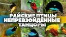 Райские птицы - непревзойдённые танцоры. HD 1080. Очевидное - Невероятное.