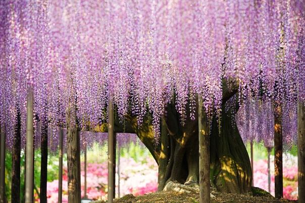 Отправляйтесь в цветочный парк Асикага в Японии и вы найдете дерево глицинии, которое часто называют «самым красивым в мире»