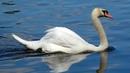 Великолепные белые лебеди. Лебяжий пруд на Крестовском острове. Санкт-Петербург.