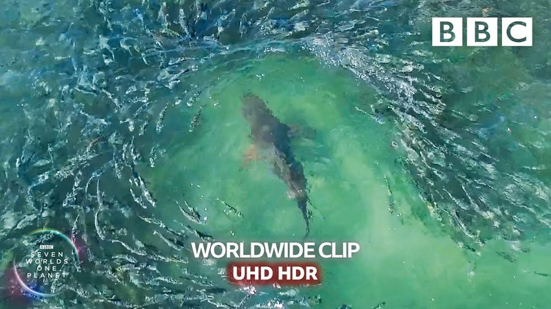 Shark devours wall of mullets Seven Worlds One Planet BBC Earth