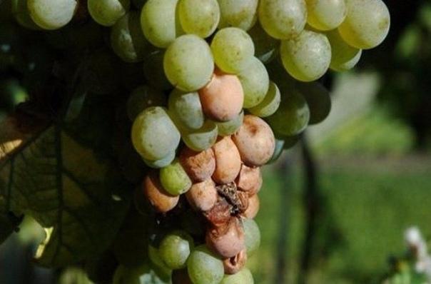 Народные методы борьбы с болезнями винограда